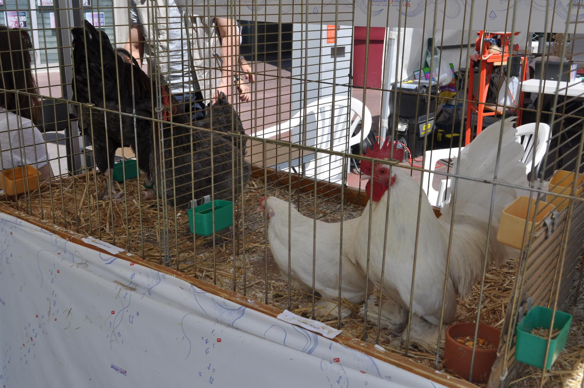 Poules ACCVO